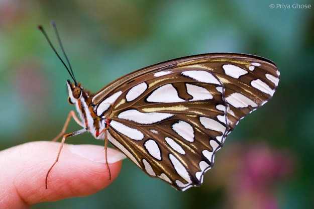 A Gulf Fritillary Butterfly Sits On My Finger...
